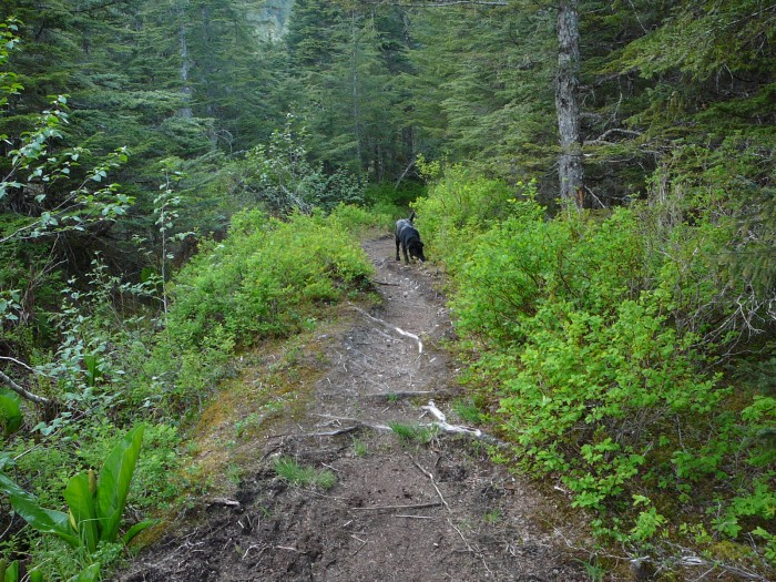 A dog explores part of the Tongass National Forest's Treadwell Ditch Trail on Douglas Island, part of Juneau. (Ed Schoenfeld/CoastAlaska News)