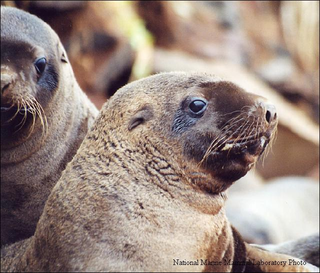 A 2010 review resulted in fisheries being closed in 2011 to protect Stellar Sea Lion habitat. (Photo courtesy National Marine Mammal Laboratory)