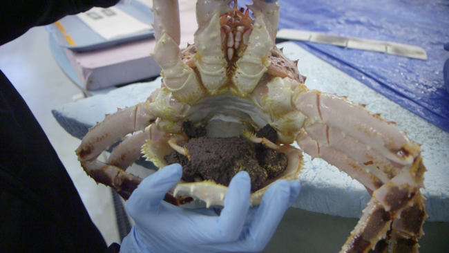 Eggs in a female red king crab. The laboratory studies the impacts of ocean acidification on crabs from the earliest life stages. (Photo by Eric Keto / Alaska's Energy Desk)