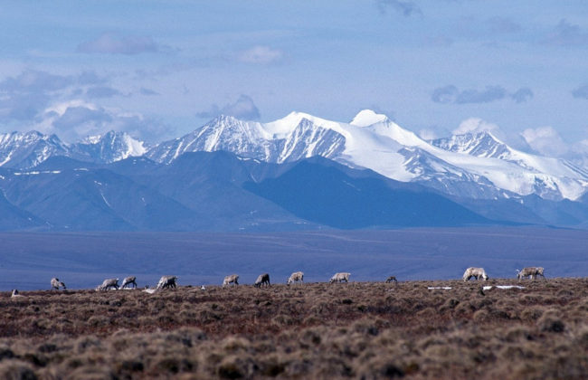 Caribou graze on the coastal plain of the Arctic National Wildlife Refuge, with the Brooks Range as a backdrop in October 2010.