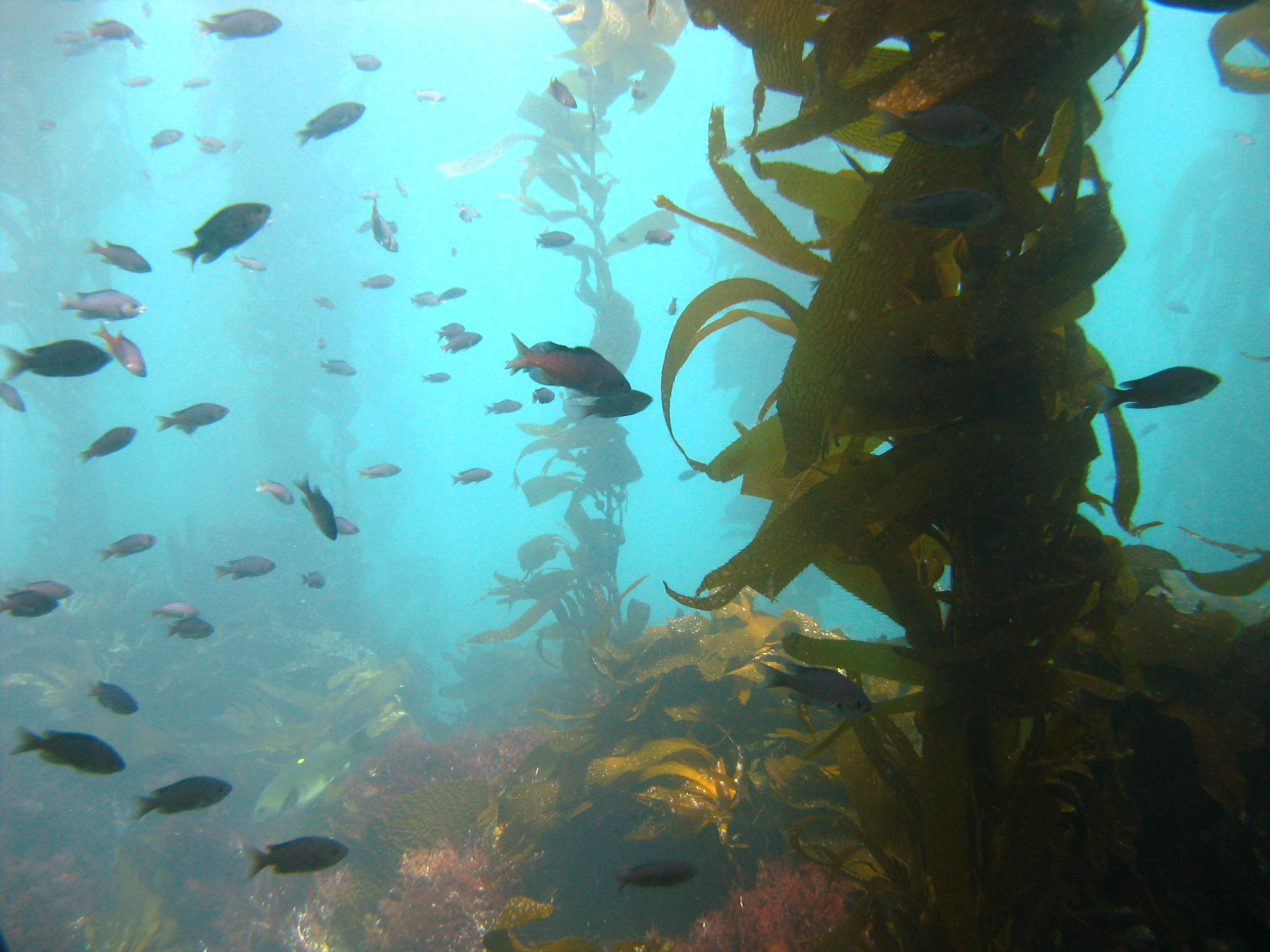 Like in Alaska, kelp forests in California provide habitat and shelter for a variety of fish species. Photo courtesy Sonia Ibarra.