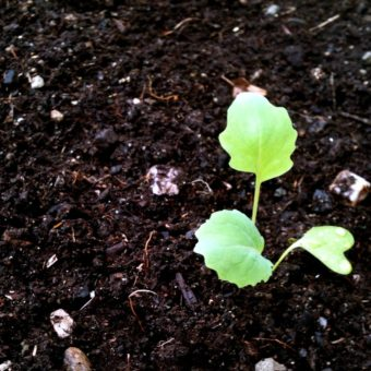 KTOO Garden Sprout
