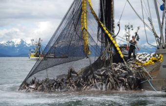 Commercial fishermen catch salmon at Amalga Harbor in 2013. Commercial openings begin Thursday. (Photo courtesy of Dave Harris/ADF&G)