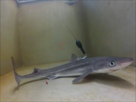 A tagged spiny dogfish