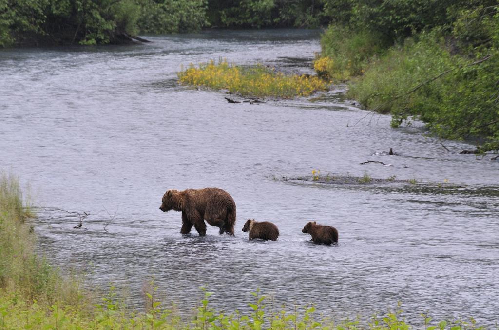 A brown bear sow with two cubs crossing the Resurrection River near mile 3 of the Seward Highway. Seward, Kenai Peninsula, Alaska. (Photo by Dan Logan/ Flickr CC)