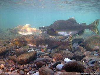 Fishing fleets caught 219 million pink salmon last year. (Photo courtesy NOAA fisheries)