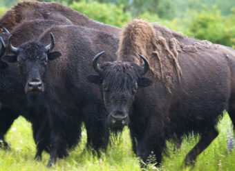 Wood bison are the largest native land mammals in the Western Hemisphere, 10 to 15% heavier than plains bison. (Photo by Laura Whitehouse/USFWS)