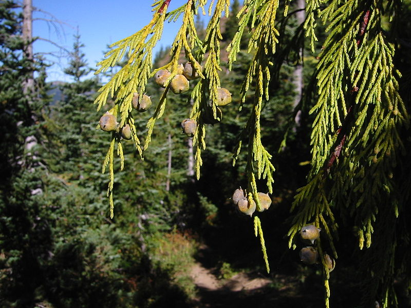 Yellow cedar cones and foliage. Also known as Calliptropsis nootkatensis. Behind are subalpine fir trees. (Creative Commons photo by Walter Siegmund)