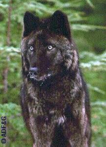 The Alexander Archipelago wolf. (Photo courtesy Alaska Department of Fish & Game)