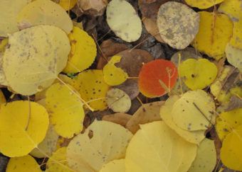 A few aspen trees go their own way, leaves turning red and orange when the majority turn yellow. (Photo by Ned Rozell)