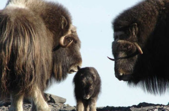 Muskox photographed near Nome. (Photo by Jason Gablaski, Bering Landbridge National Preserve, National Park Service)