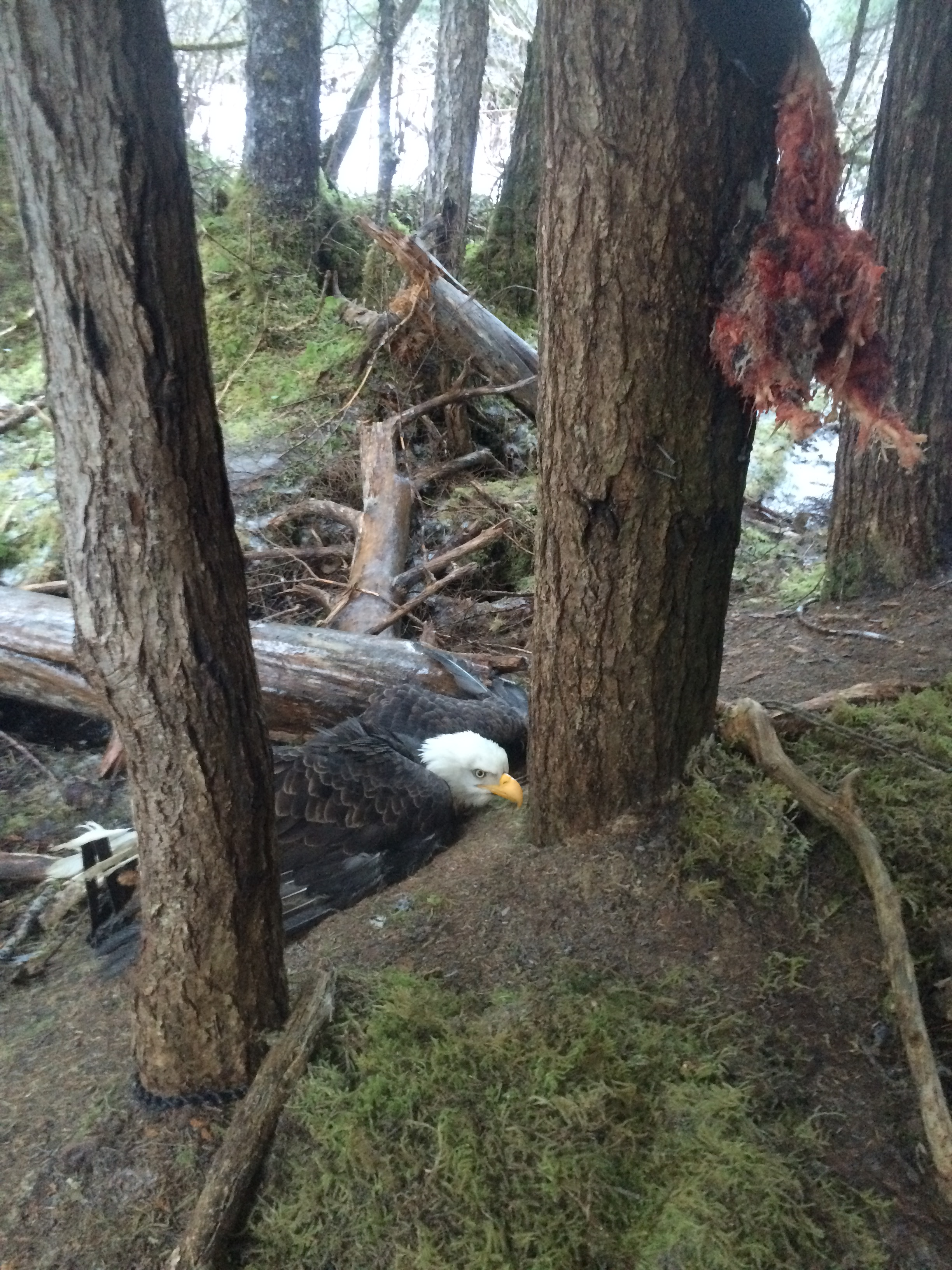 A beaver carcass hung on a nearby tree. About a foot above the carcass, Adair says she saw a covering made of branches. This may have been meant to visually block the bait from birds flying above. (Photo courtesy Kathleen Adair)