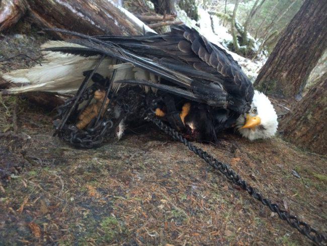 Kathleen Adair encountered an eagle stuck in two traps Dec. 24. (Photo courtesy Kathleen Adair)