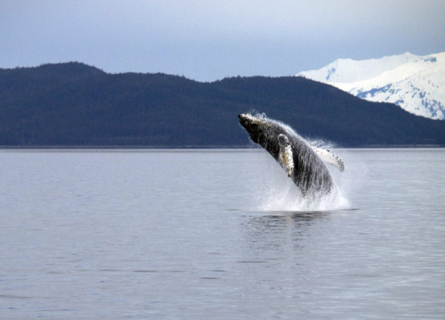 A whale in Berners Bay, near Juneau, Alaska. (Creative Commons photo by Gillfoto)