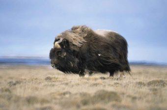 A bull muskox. (Photo by Tim Bowman/U.S. Fish and Wildlife Service)