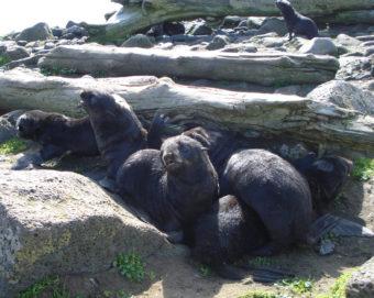 Northern fur seal pups on St. Paul Island, Alaska. (Photo courtesy of NOAA)