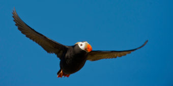 A tufted puffin returns to its nest as the US Fish and Wildlife Service research boat R/V Tiglax stops at Attu Island the western most of the Aleutian Islands on Thursday, June 4, 2015. (Photo by Bob Hallinen/Alaska Dispatch News)