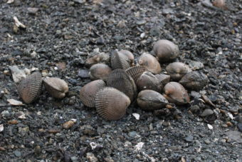 After digging a few minutes, Alan Zuboff has a sizable pile of the saltwater clam. (Photo by Elizabeth Jenkins)