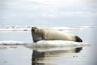 A bearded seal rests on ice off the coast of Alaska June 21, 2011. (Public Domain photo by John Jansen/NOAA Alaska Fisheries Science Center)
