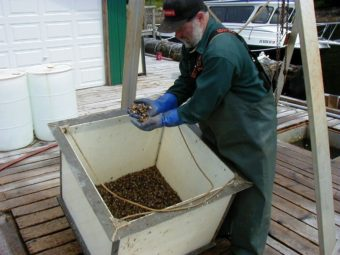 """Randy Porter checks young oysters, called """"spat,"""" at the oyster nursery in Naukati in 2007. (Photo by Ed Schoenfeld/CoastAlaska News)"""