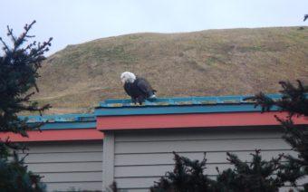 bald eagle in Unalaska