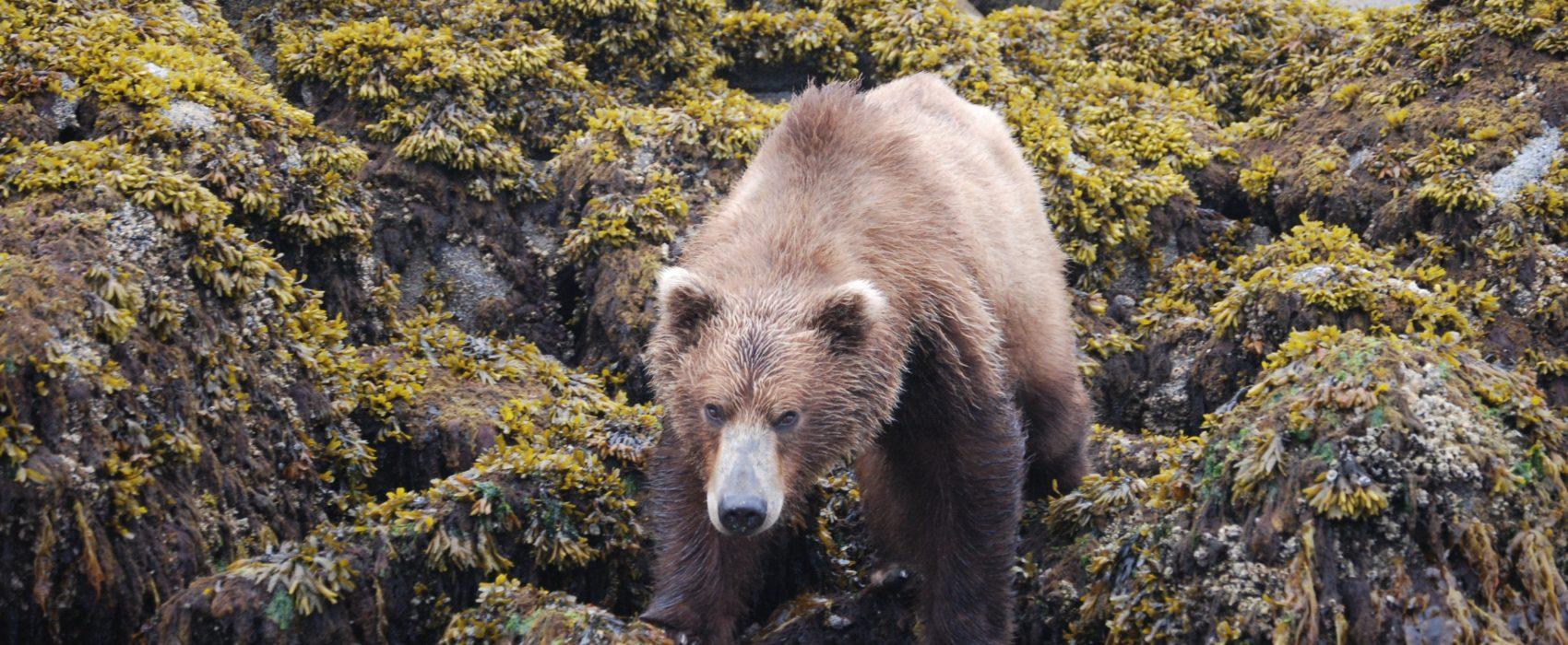 brown bear on shoreline in Katmai area