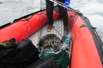 A netted pup: a harbor seal pup just captured in Disenchantment Bay, Alaska. The pup will provide hair, skin, and whisker samples just before having a satellite tag glued to the hair on its back. Pups were reunited with their moms in 20-30 minutes. Photo collected under the authority of MMPA permit No. 19309. Photo credit: John Jansen (NOAA)