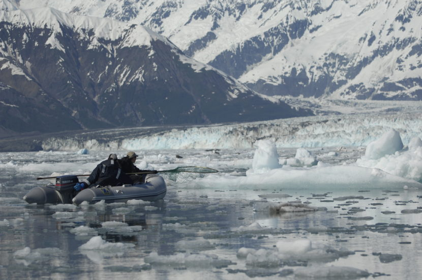 Capture_mode: Researchers move slowly through the ice in Disenchantment Bay hoping to get close enough to net a seal so as to measure and weigh it, collect samples, and attach a satellite tag to monitor behavior. Photo collected under the authority of MMPA permit No. 19309. Photo credit: Jamie Womble (NPS)