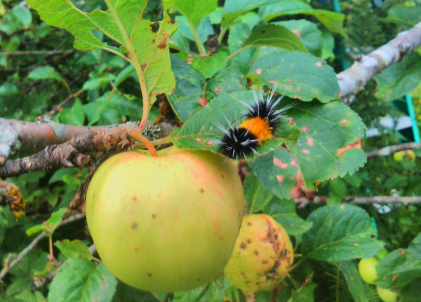This woolly bear caterpillar was spotted roaming an apple tree in Juneau in August 2016.