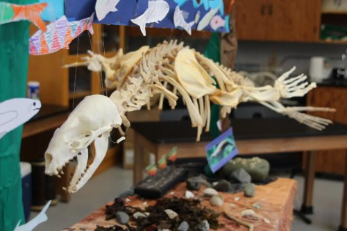 Students with Sitka Sound Science Center's summer camp week finished assembling the skeleton of this California sea lion in 2016. (Katherine Rose/KCAW)