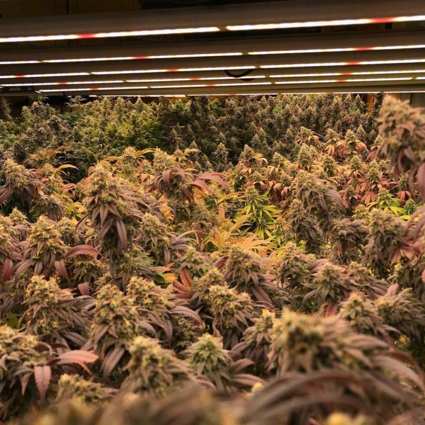 Rainforest Farms first marijuana crop