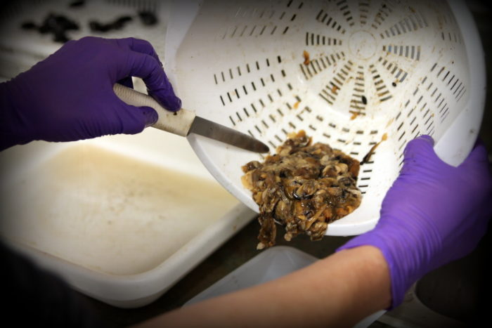 Sitka Tribe of Alaska fisheries biologist Jen Hamblen empties blue mussel meat into a blender.