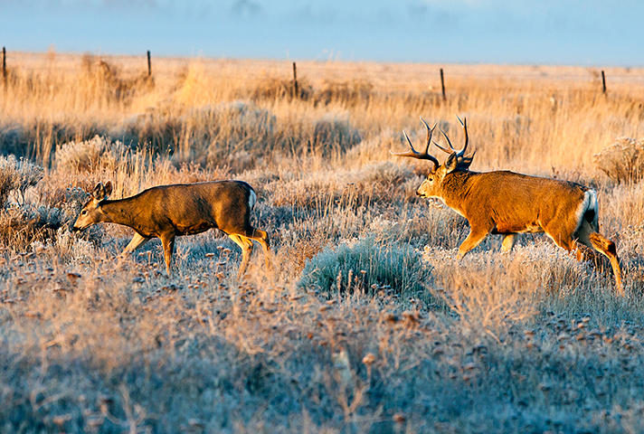 Mule deer like these in Oregon have been spreading into Alaska over the past few decades. Wildlife experts worry they may be carrying the winter moose tick, which has devastated moose populations in Canada and the Lower 48. Photo courtesy U.S. Fish and Wildlife Service)