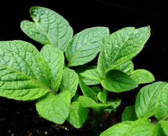 Close up view of potato seedlings growing in a North Douglas garden.