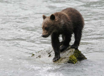 A bear cub in Haines in 2010. (Creative Commons photo by Ray Morris/Flickr)