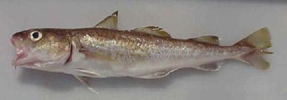 A small Pacific cod. (Courtesy of the National Ocean and Atmospheric Administration)