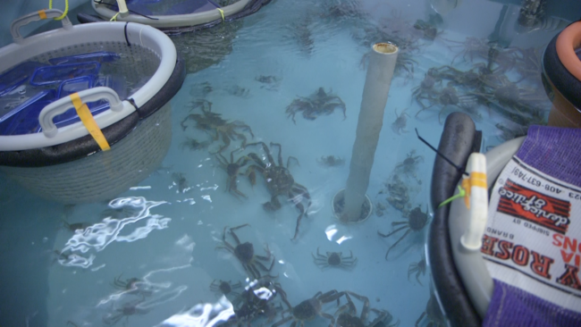 Crabs are housed in tanks with varying pH and temperature, to mimic the conditions researchers predict will prevail in Alaska waters decades from now. (Photo by Eric Keto / Alaska's Energy Desk)