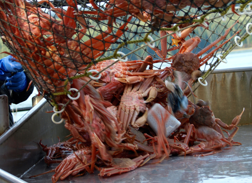 Tanner crab (Photo courtesy of Alaska Department of Fish and Game)
