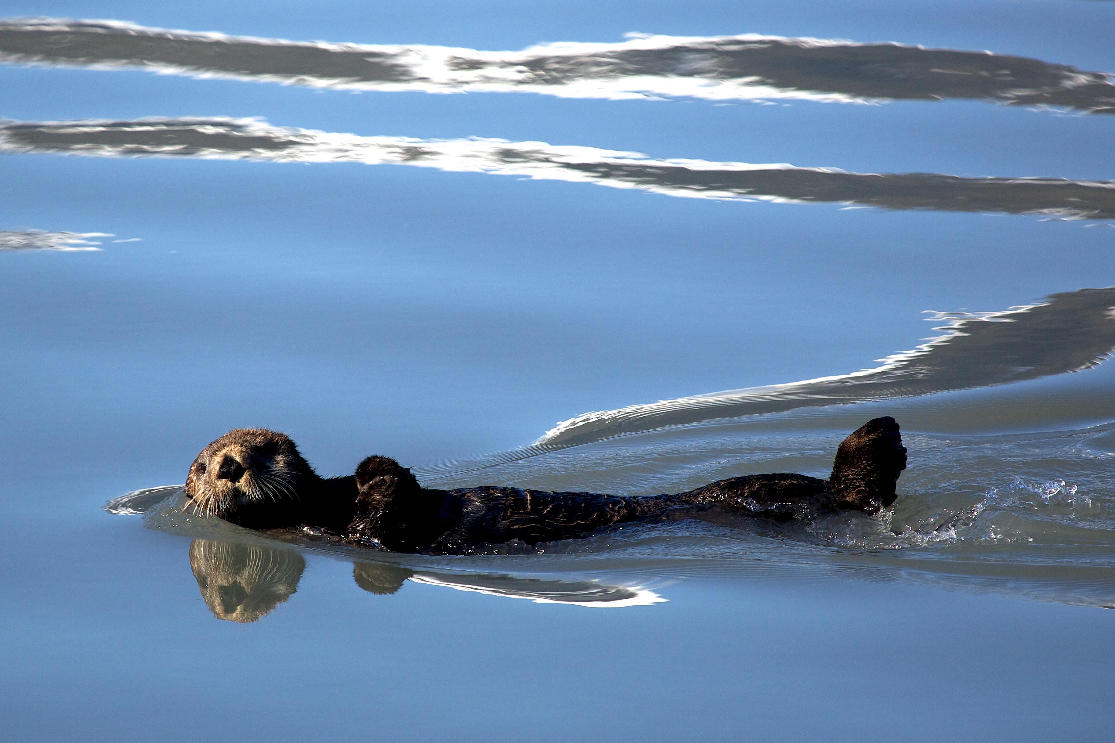 A sea otter floats at the Kenai Fjords National Park. (Public domain photo by Kaitlin Thoresen/National Park Service)