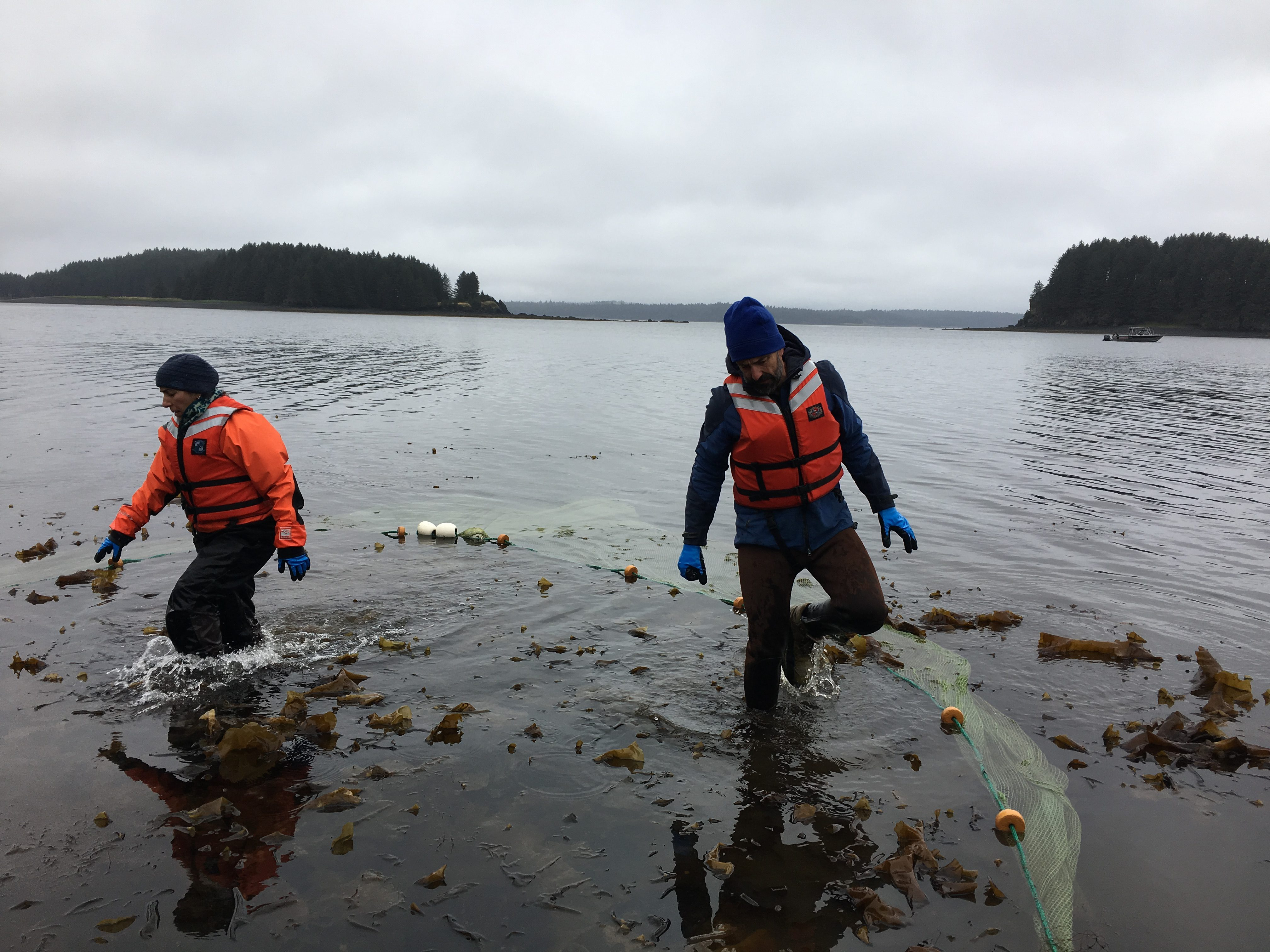 Marine scientists Alisa Abookire, left, and Mike Litzow clear kelp out of their seine. (Photo by Mitch Borden/KMXT)
