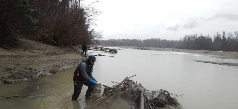 Alaska Department of Fish & Game technician John Cooney sets a minnow trap on April 26, 2018, in a downed tree on the Taku River.