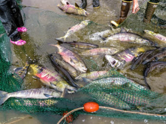 Salmon caught in a seine net in the eastern Norton Sound, just up the Bering Sea coast from Nome. (File photo by KNOM)