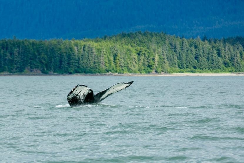 """The humpback whale known as Sasha frequents Southeast Alaska waters and is pictured here in Auke Bay in an undated photo. The whale has a distinctive fluke with markings resembling the letters """"AK."""""""
