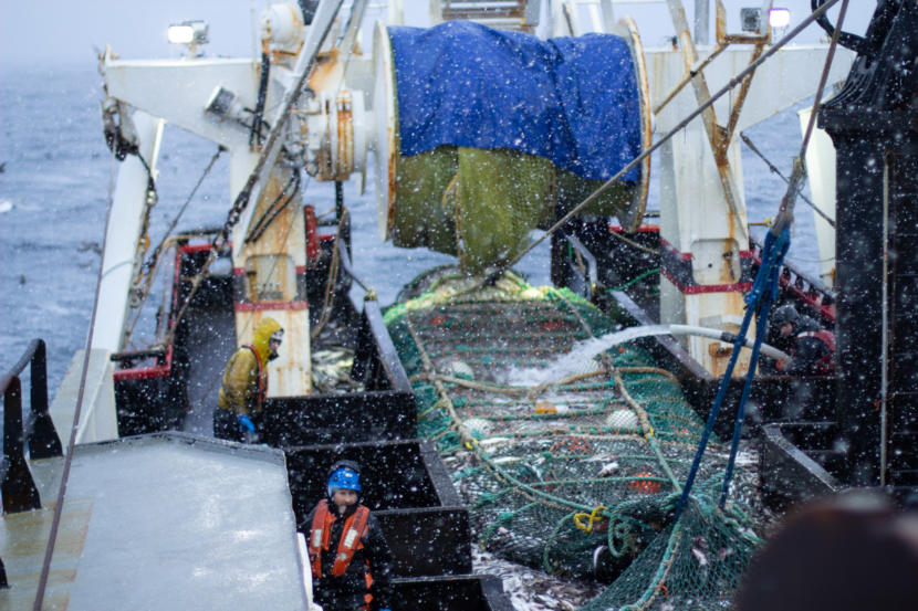 Crew members on the fishing vessel Commodore empty a trawl net of pollock on the Bering Sea. (Photo by Nathaniel Herz / Alaska's Energy Desk)