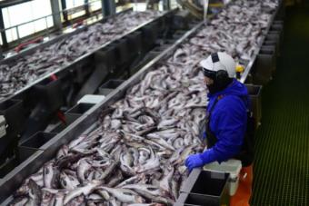 Pollock, seen here at a processing plant in Dutch Harbor, in the Aleutian Islands, are one of the species being found in increasing numbers in the northern Bering Sea. (Photo by Berett Wilber)