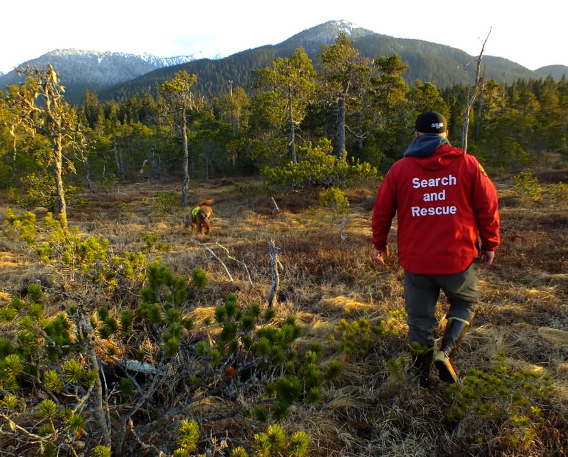 Brew, a 9 year old Golden Retriever, returns to SEADOGS' Mark Sanders to let him know that he's found where the scent of a missing person (actually a training volunteer) had veered off into the muskeg. (Photo by Matt Miller/KTOO)