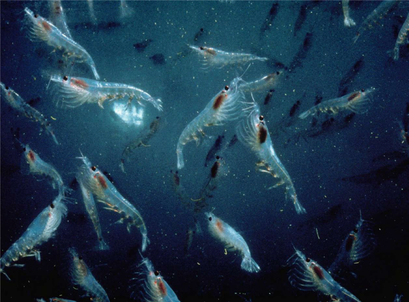 A swarm of krill.