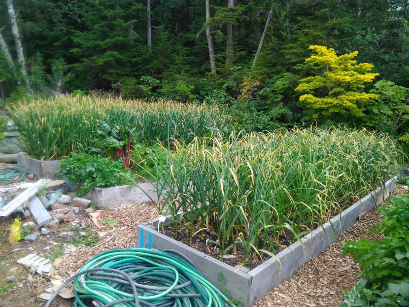 Hundreds of garlic plants waiting to be harvested.