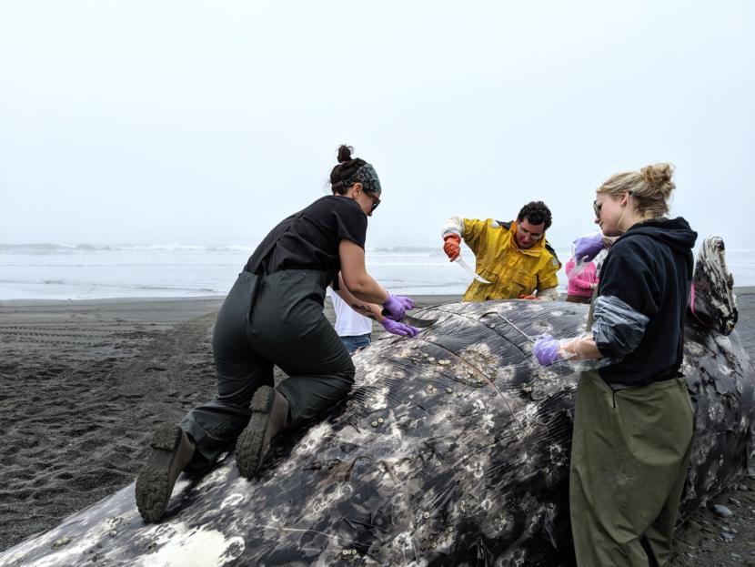 Emily Iacobucci climbs on top of the gray whale to help volunteers strip blubber.