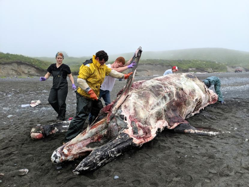 Volunteers carve blubber off a dead gray whale on Surfers Beach in July.